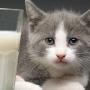 猫に牛乳を与えるのは正しい? 気になる真相は実は・・・